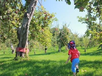 Autocueillette de pommes biologiques